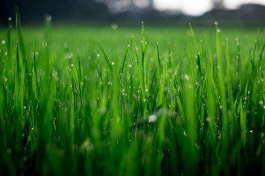Gras met regendruppels